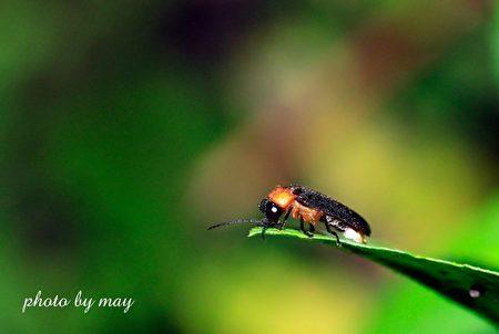 大农大富平地森林园区大主角-黑翅晦萤。(花莲林管处提供)