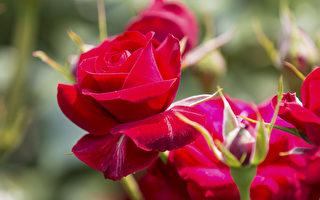 针对澳洲的气候,玫瑰的冬季修剪要在7月或8月初完成。等到了来年的春季,修剪过的枝条萌芽点上就会长出新的玫瑰枝条。(大纪元图片)
