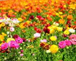 闻名遐迩的卡尔斯堡花田Carlsbad Flower Fields每年的3到5月就会变成一片花海,种植的主要毛茛属各色鲜花。