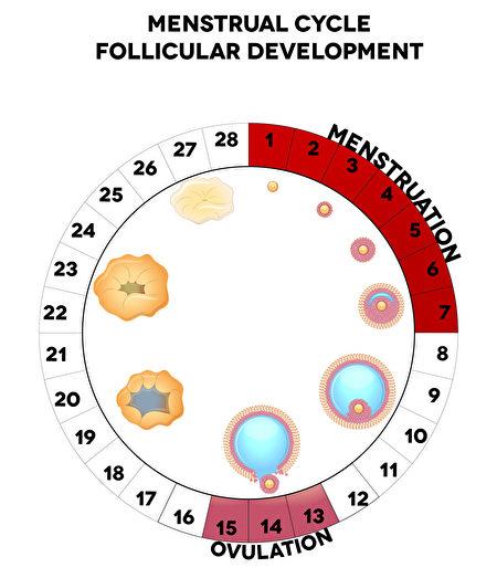 月經週期圖形,詳細的卵泡發育圖,月經和排卵日。(Fotolia)