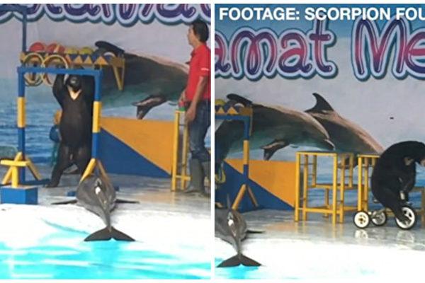 脱水过长时间对海豚有致命危险。而在狗熊耍单杠、骑单车过程中,这只海豚一直被晾晒一边。(视频截图/大纪元合成)
