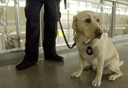 在纽约JFK执勤的警犬。 (Mark Mainz/Getty Images)