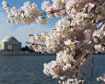 今年华盛顿特区樱花盛开将是史上最早的一次,也许早在3月14到 17日就开始。(SAUL LOEB/AFP/Getty Images)