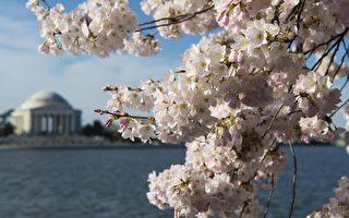 美国今年迎来早春 华府樱花提前22天绽放