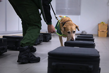 在香港机场嗅行李箱的警犬。(ISAAC LAWRENCE/AFP/Getty Images)