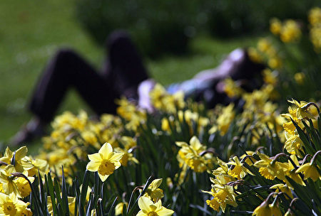 LONDON - MARCH 8: Daffodils bloom in St James's Park as the weather turns spring like on March 8 2007 in London, England. (Photo by Matt Cardy/Getty Images)