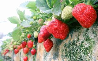 无药草莓上市 善化省道采果趣