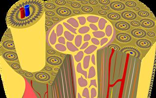 骨的微观结构立体模式图。(pixabay)