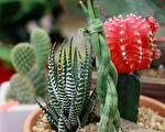 """最近卖得最火的室内植物,就属""""多肉""""植物。 (唐诚/大纪元)"""