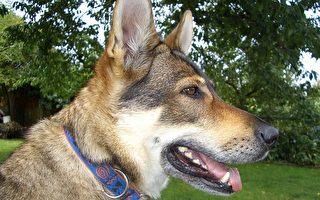 法國研究人員今天說,狗可以自接觸過乳癌患者乳房的一塊布嗅聞出癌症。(Pixabay)
