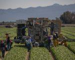在美国的有些农场,墨西哥劳工是主要的劳动力。 (DAVID MCNEW/AFP/Getty Images)