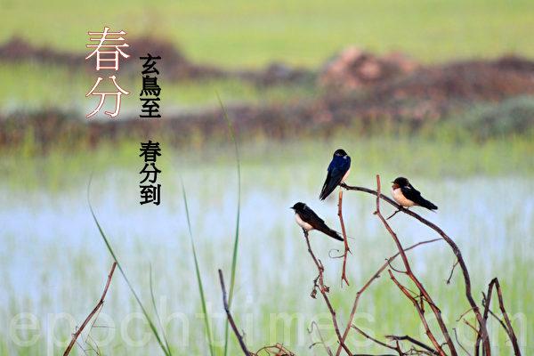 """""""春分之日,玄鸟至"""",玄鸟就是燕子。 (明国/大纪元)"""