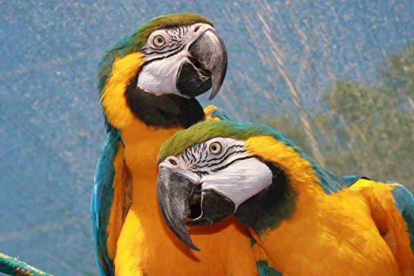 鸚鵡笑聲把快樂「傳染」給同伴 進化論無解