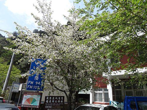 废弃的自忠派出所检查哨前的樱花树花团锦簇,美丽的花朵绽放整个枝头。(曾晏均/大纪元)