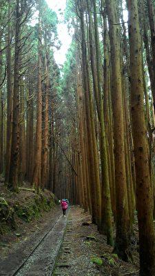 苍劲挺拔的柳杉林,高耸的环绕满山遍谷,这是特富野古道堪称代表性的林相景观之一。(曾晏均/大纪元)