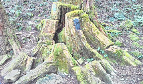 古径两侧的红桧历经了伐木、运木时期的沧桑,如今仍随处可见当年被砍伐后,所遗留下来巨大的红桧树头。(曾晏均/大纪元)