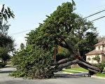 目前,南加地区的大风已经在南加造成各种破坏,包括树木被拔起,电线被破坏等。(刘菲/大纪元)