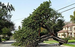 目前,南加地區的大風已經在南加造成各種破壞,包括樹木被拔起,電線被破壞等。(劉菲/大紀元)