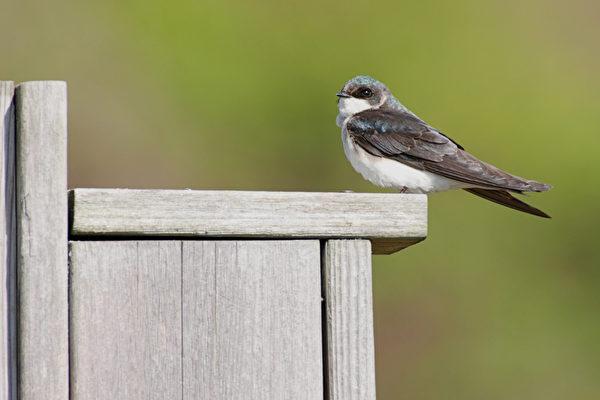 燕子,美好春天的象征,它对人类极信任,极友善,也对人类充满期待。(fotolia)