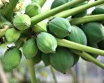 木瓜(fotolia)