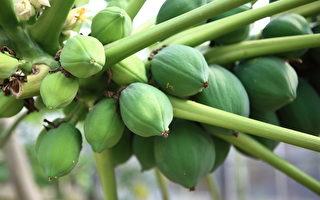 【厨房兼药房】号称万寿果的木瓜