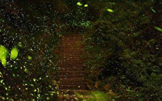 赏萤正当时 阿里山占全台萤火虫种类2/3