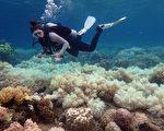 科学家证实:遭到海洋暖化冲击,大堡礁连两年白化,完全没有复育机会。(GREG TORDA/AFP)