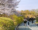 韓國首爾汝矣島公園位於汝矣島內,設有生態蓮池、四角亭、池塘、八角亭、草坪、鵝卵石路、自行車道路、散步路等設施,一到春天景色優美是都市之中可以輕易接觸到自然的綠色空間,是男女老少、全體市民們進行休閒娛樂、散步運動的好去處。(全景林/大紀元)