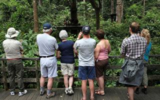 马来西亚入选成为全球20个最廉价旅游的国家之一。图为沙巴州山打根的人猿是吸引游客到来的活招牌。(MOHD RASFAN/AFP/Getty Images)