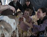旧金山民众惊喜与羊羔亲密接触