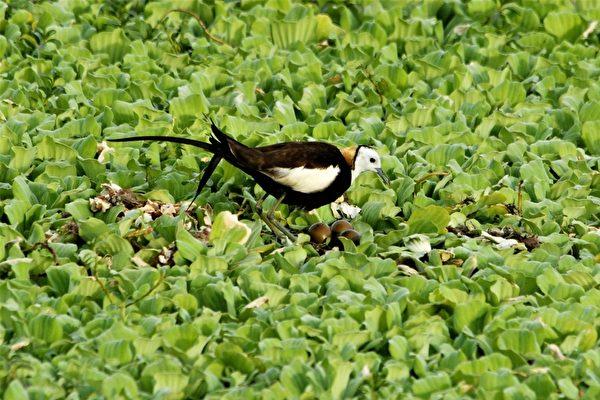 4月分的洲仔溼地可觀察到水鳥活潑追逐的畫面。(高市養工處志工楊志雄提供)