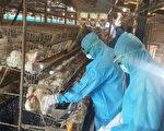 針對被驗出戴奧辛雞蛋的鴻彰畜牧場,彰縣府農業處以及動防所人員28日展開雞隻撲殺作業,4萬多隻雞先迷昏打包後焚燒。 (彰化縣政府提供)