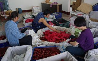 高雄团苏首恩、赖筱樱师傅于六龟区农场协助莲雾分级包装工作。(大树农会提供)