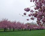 近日紐約氣溫回升,許多公園繁花盛開,正是出外踏青的好去處。圖為2017年4月25日,紐約,布魯克林植物園內的櫻花盛開。(陳正洪/大紀元)