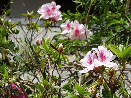 春日的特富野杜鵑花開燦爛。(曾晏均/大紀元)