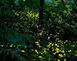 又到了赏萤火虫的季节,新北市瑞芳区有多处可欣赏大量萤火虫飞舞的地点。其中,不受污染的三貂岭,4月中旬起至5月中旬为火金姑的时节,民众可到此观赏萤光。(瑞芳区公所提供)(中央社)