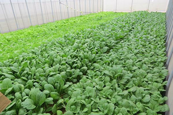 桃園市政府針對有機蔬菜進行抽查,殘餘農藥部分不合格率為3.4%,標示不合率為5.6%。(徐乃義/大紀元)