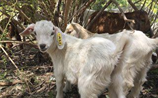羊群中的小羊。(刘宁/大纪元)