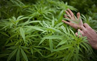聯邦政府撥款46.6萬助墨市醫用大麻試點