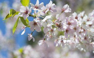 樱花,又称山樱花、青肤樱,绽放时,满树但见粉红色或白色的串串花蕊,璀璨绚烂,美不胜收。 (大纪元资料库)