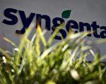瑞士种子公司先正达在中国批准进口它的转基因玉米之前,就决定向美国市场引入转基因玉米种子,致使美国农民遭受巨大损失。 (FABRICE COFFRINI/AFP/Getty Images)