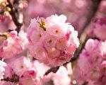 進入4月,紐約布魯克林植物園(Brooklyn Botanic Garden)櫻花怒放,賞櫻遊人流連忘返。(戴兵/大紀元)