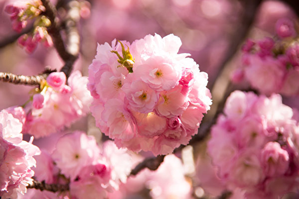 组图:纽约浪漫樱花季 满园春色伴游人