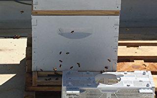 增强孩子环保意识 旧金山学校屋顶养蜜蜂