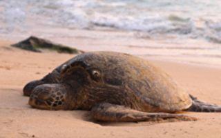 海龟的眼泪 搁浅龟龄不过半百