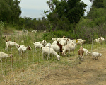 """安纳罕市消防局""""雇""""来山羊吃容易引发野火的杂草。(刘宁/大纪元)"""