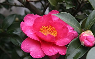 茶花曾经是中国传统名花,历朝历代文人写它,画家画它。两个多世纪前,它飘洋过海,离开造物主安排的中国,被引种到全世界。(Pixabay)