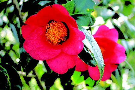悉尼植物园红茶花(Red-flowered camellia japonica in RBG)(作者提供)