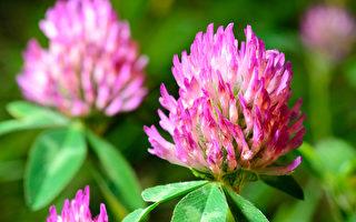 调节荷尔蒙、预防癌症 红花苜蓿的6种功效