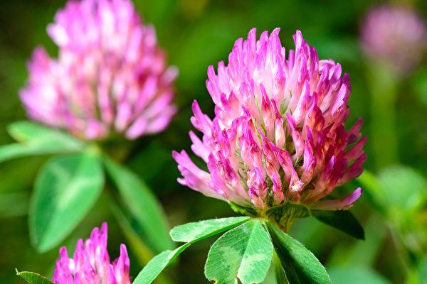红花苜蓿(又称红三叶草,中药名红车轴草)可调节女性荷尔蒙,除了可防治更年期症状,还有预防乳腺癌、前列腺癌和心血管疾病的强效。(Heike Rau/Shutterstock)